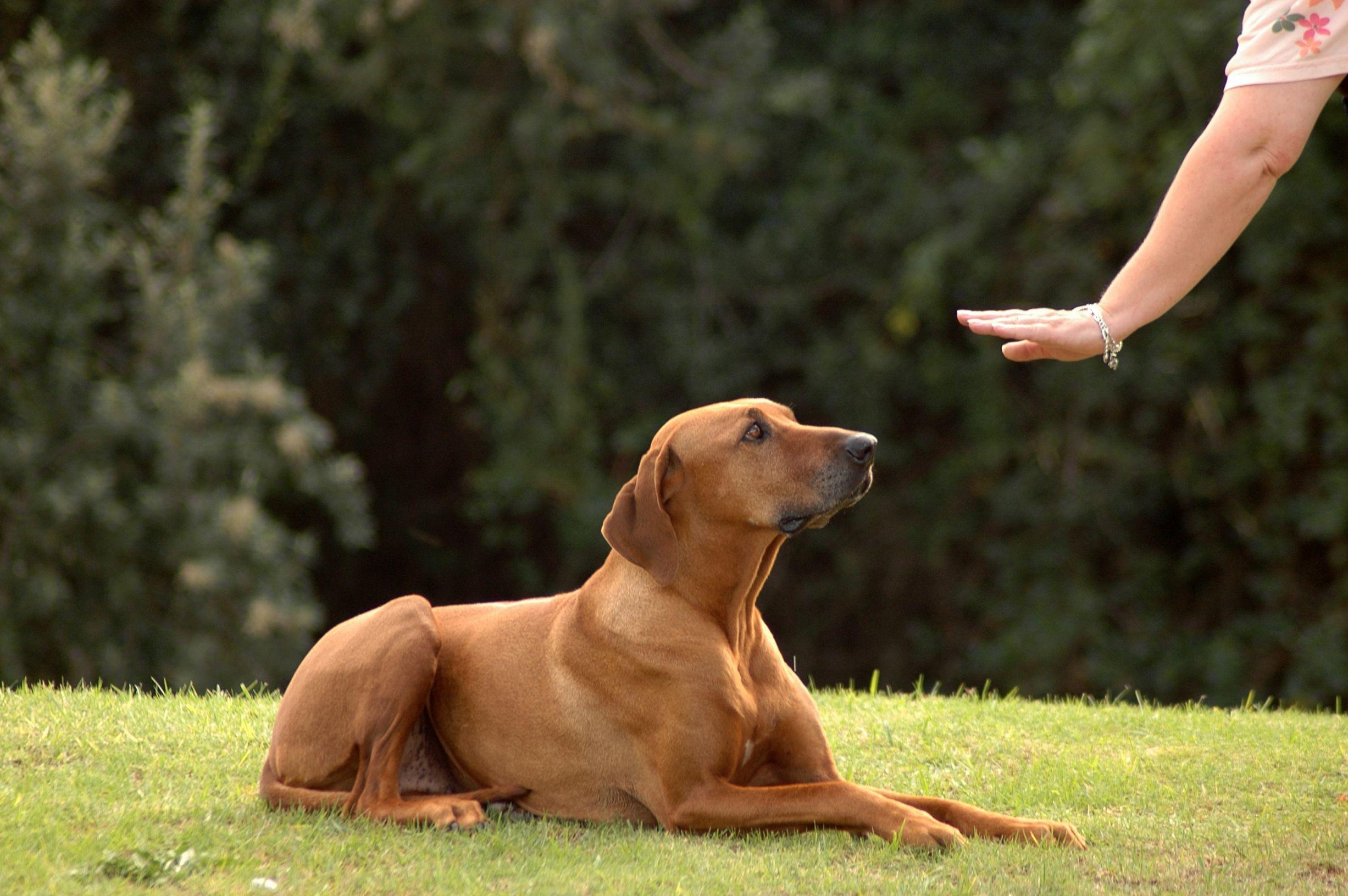 Quelle est l'importance de la récompense dans le dressage d'un chien ?